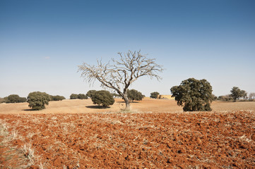 Bare tree in an agricultural landscape