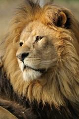 Leone,maschio