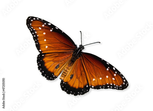 Deurstickers Vlinder Queen butterfly