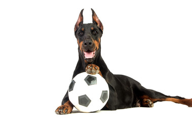 Great doberman dog with ball on white background