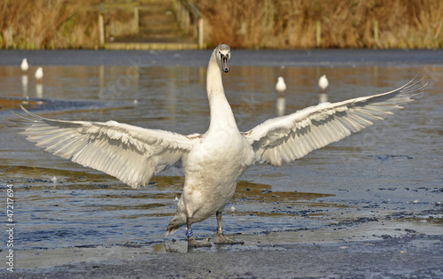 Young Mute Swan Flapping Wings On Frozen Pond