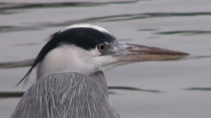 Close-up: The heron looks around cautiously yellow eye