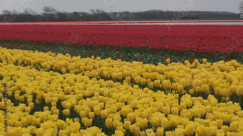 A field of yellow and red tulips