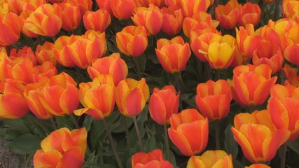 Glowing red and yellow tulips