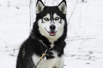 Siberian Husky look toward