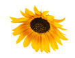 beautiful flower of a sunflower isolated