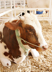 A beautiful brown and white Holstein cow