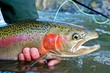 Steelhead trout caught while fly fishing - 47231653