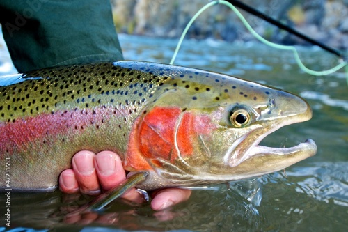 Staande foto Vissen Steelhead trout caught while fly fishing