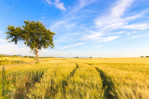 Wheat field tracks, tree and  clear sky in spring