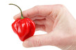 Hand holding hot red habanero chili , isolated