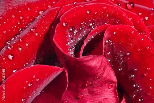 Rose 1 © dvalkyrie