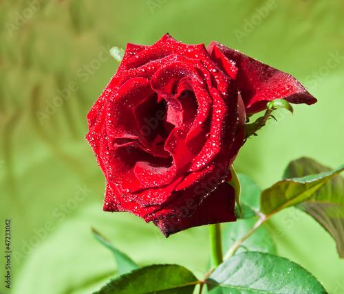 Rose 2 © dvalkyrie