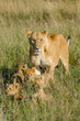 Lioness with 4 cubs