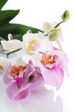 Fototapety beautiful orchids, isolated on white