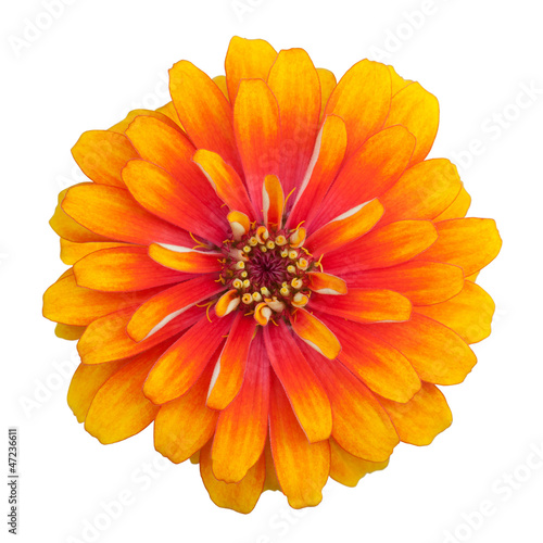 Zinnia flower isolated on white background