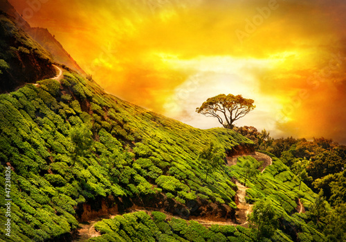 Fototapeta Tea plantation in Munnar