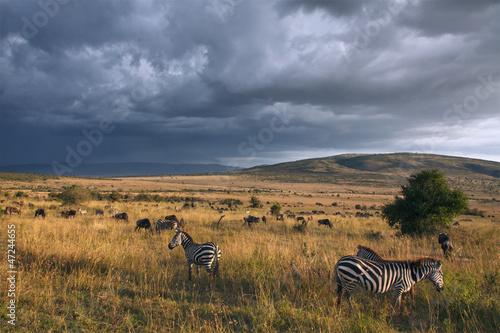 Foto op Canvas Zebra Zebras