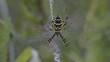 Wespenspinne, Zebraspinne, Tigerspinne, Seidenbandspinne