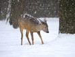 Beautiful deer in winter forest