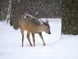 Beautiful deer in winter forest