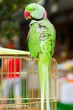 Green Parrot sitting on a cage
