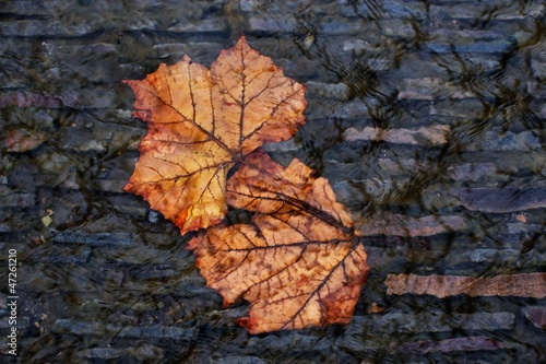 autumn leaves submerged in a stream