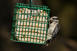 Downy Woodpecker (Picoides pubescens).