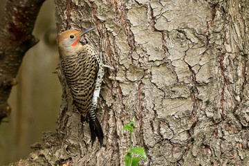 Northern Flicker on a tree
