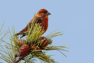 Red (or Common) Crossbill