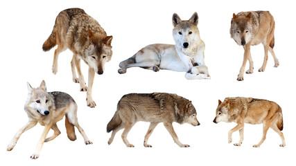 wolves  on white background