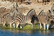 Plains Zebras in water, Etosha National Park