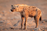 Spotted hyena, Etosha National Park