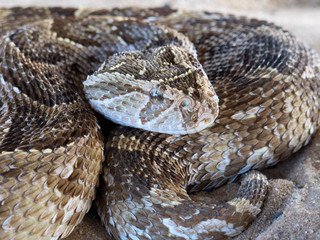 Puff adder (Bitis arietans) snake ready to strike