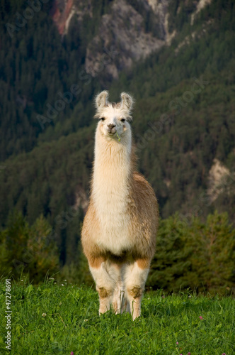 canvas print picture Lama