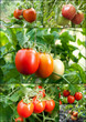 set of tomatoes grow on twigs
