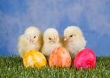 Fototapety Drei Hühnerküken mit Ostereiern