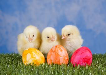 Drei Hühnerküken mit Ostereiern