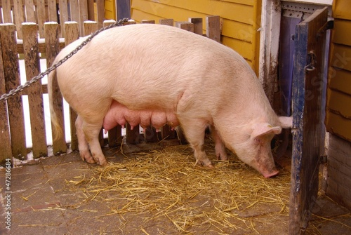 A domestic pig at a farm