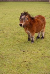 A brown shetland pony in a meadow
