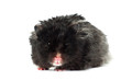 black hamster portrait isolated