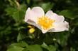 rosa canina flower head