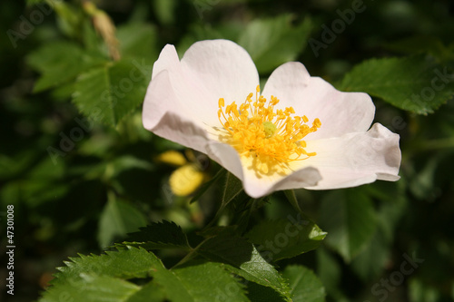 rosa canina flower head