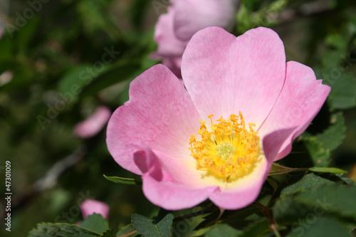 pink rosa canina