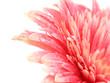Fototapeta Kwiat - Na białym tle - Kwiat