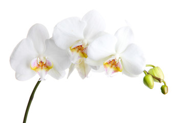 beautiful orchid, isolated on white