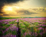 Meadow of lavender.