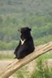Ours du Tibet (ours à collier) assis sur un tronc