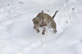 Weimaraner Jagdhund im Schnee poster
