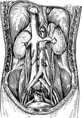 Human abdomen cut